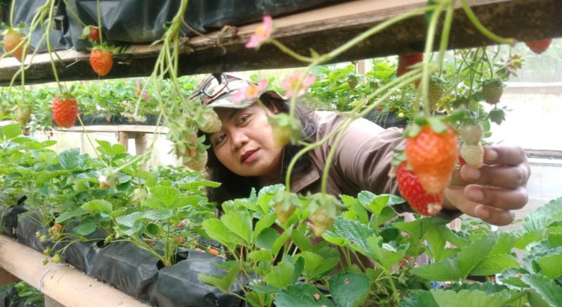 Tetap Bertahan, Wisata Petik Strawberry Masih Menjadi Incaran Saat Pandemi